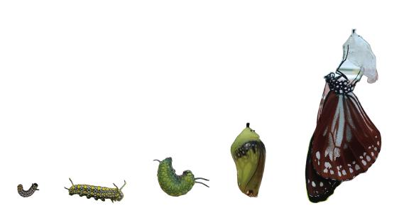 """旅する蝶 """"アサギマダラ"""" を幼虫〜さなぎ〜成虫へと育てて、空へかえす飼育キット"""